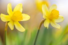 Two Yellow Daffodils Grow In T...