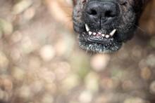 Closeup Of The Boxer Dog's Muz...