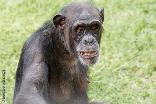 Portrait of chimpanzee staring at camera with round eyes and funny expression Canvas Print