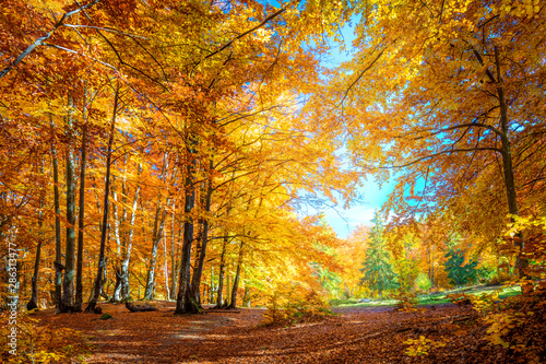 Obraz Warm Sunny day in Autumnal forest, yellow orange trees - fototapety do salonu