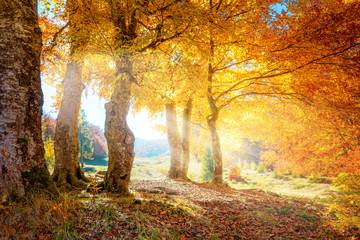 FototapetaWarm autumn landscape - beautiful forest with the sun rays and golden trees