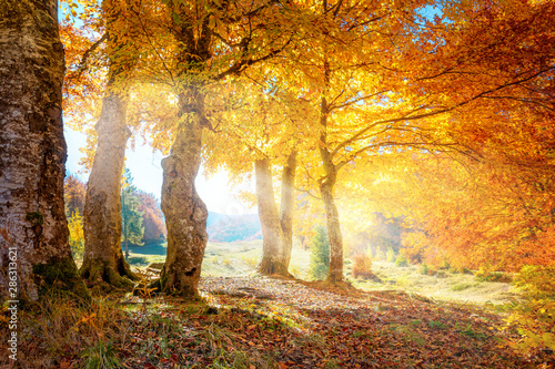 Poster Orange Warm autumn landscape - beautiful forest with the sun rays and golden trees