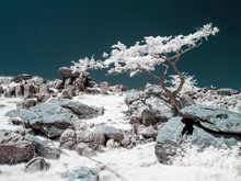 Lone Tree In Infrared