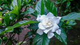 White Gardenia Flower after rain drop