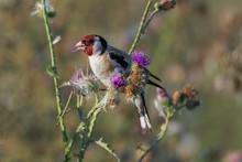 European Goldfinch Bird Sits On Thistle Straw