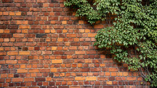 Climbing Plant, Green Ivy Or V...