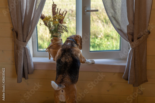 Fotografia, Obraz Beagle dog looks out the window of a village house standing on his hind legs
