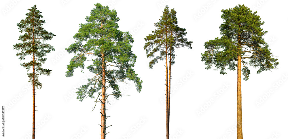 Fototapety, obrazy: Set of tall pine trees isolated on a white background.