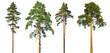 Leinwanddruck Bild - Set of tall pine trees isolated on a white background.
