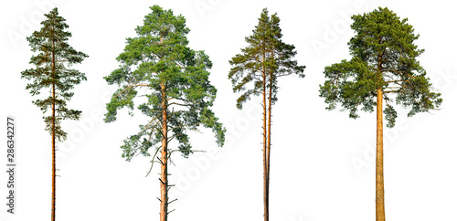 Fotografia Set of tall pine trees isolated on a white background.