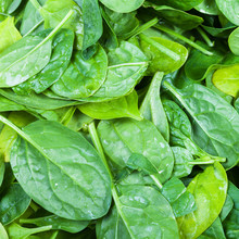 Many Green Leaves Of Spinach Herb Close Up