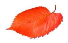 Red Fallen Leaf Of Elm Tree Is...