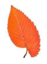 Back Side Of Orange And Red Leaf Of Elm Tree