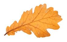 Back Side Of Fallen Brown Oak Leaf Isolated