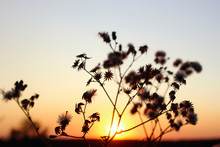 Beautiful Nature Background. Silhouettes Of Flowers Over Sunset Background.  Nature, Travel Concept.
