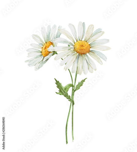 Photo wildflowers daisies on a white background.