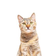 Portrait Of Tabby Ginger Cat P...