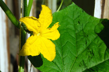 Yellow Cucumber Flower In The ...