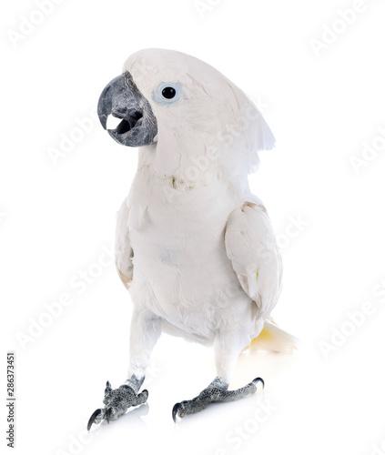 Fond de hotte en verre imprimé Perroquets White cockatoo in studio