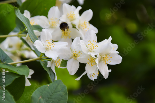 Jasmine -  absolute Egyptian (Jasmine grandiflorum) flowers Canvas Print
