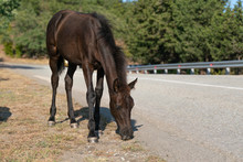 A Foal Walks Along The Road An...