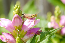 Close Up Of Grasshopper On Pink Turtlehead Flower