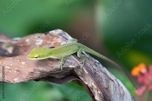 Photo Small green anole