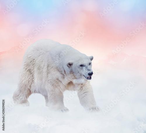 Recess Fitting Polar bear Polar bear walking on snow