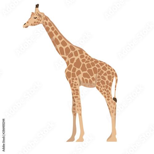 Keuken foto achterwand Giraffe Giraffe isolated on a white background. Vector graphics.