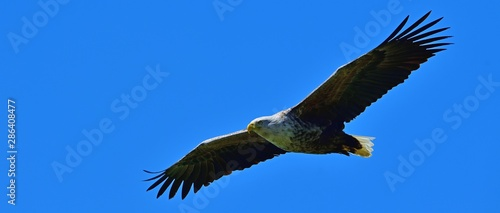 青空バックに悠然と飛ぶオジロワシ成鳥の雄姿@北海道 Wallpaper Mural