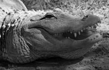 An Alligator Is A Crocodilian ...