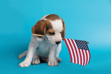 Cute Of Beagle Clever Puppy With Flag American In The Mouth,isolated On Blue Background.