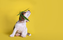 Beagles Puppies Looking Up With Cannabis Leaves Over Head ,isolated On Yellow Background.