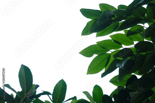 Tropical tree leaves on white isolated background for green foliage backdrop Fototapet