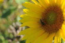 Honey Bee Collecting Pollen On Disk Florets Of A Sunflower