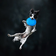 Black And White Russian Spaniel Dog Catch The Disc
