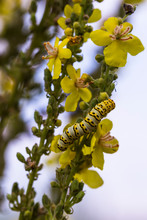 The Mullein Moth, (Cucullia Verbasci), Is A Noctuid Moth. Verbascum Speciosum Is A Species Of Flowering Plant In The Figwort Family Known By The Common Name Hungarian Mullein Or Showy Mullein.