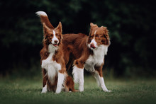 Two Border Collie Dogs In Love In Park