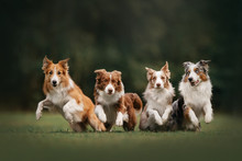 Four Border Collie Dogs Begin ...