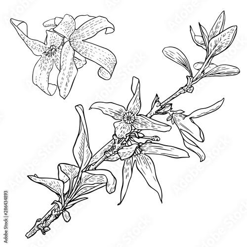 Obraz na plátne Forsythia flowers on a branch