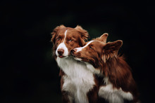 Two Border Collie Dogs Kissing...