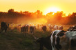 Epic scene of cattle farm - livestock of cows going home from meadows pasture in evening. Amazing sunset scenery. Countryside background. Dairy natural bio production.