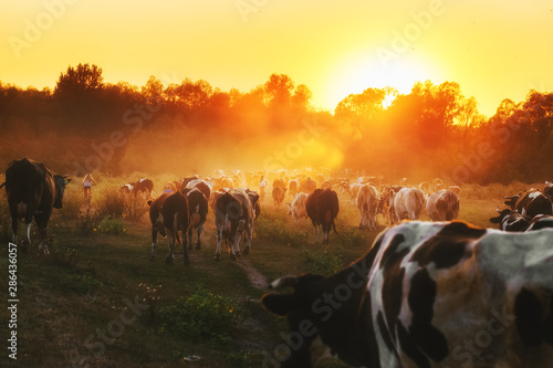 Obraz na plátne Epic scene of cattle farm - livestock of cows going home from meadows pasture in evening
