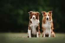 Two Border Collie Dogs Sitting Next To Each Other