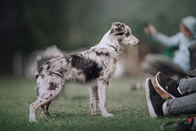 Border Collie Puppy Looking At His Owner