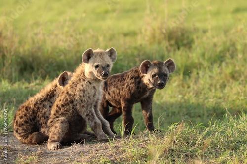 Poster Hyène Spotted hyena cubs, Masai Mara National Park, Kenya.