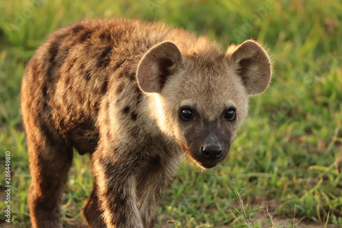Spotted hyena face closeup, Masai Mara National Park, Kenya.