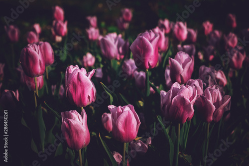 Moody Floral dark background. Mystical Deep red purple flower on black background - 286450261