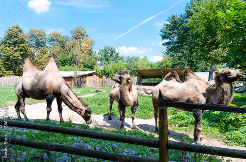 Fotografija Beautiful funny two-humped camels are standing in the courtyard of the zoo
