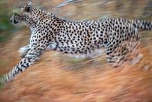 Cheetah Running In Kruger Park...